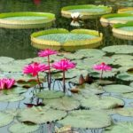 Water Lily and Lotus
