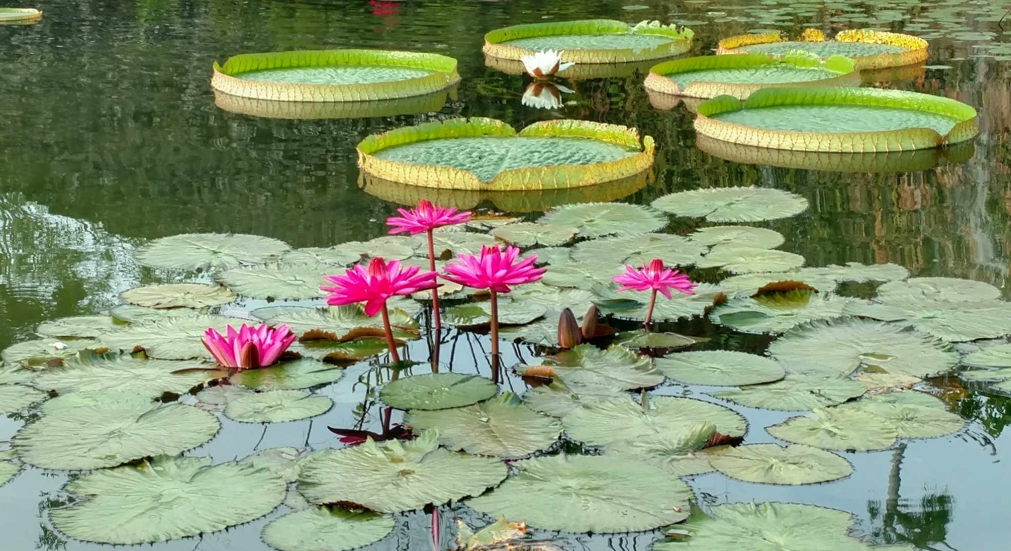 Water Lily And Lotus Fruit Spice Park