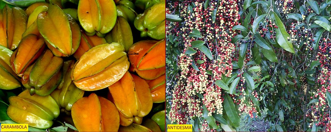 carambola and antidesma fruit spice park