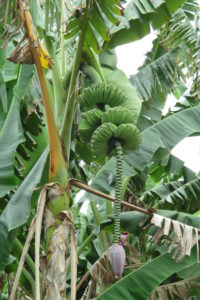Green Bananas on the stalk